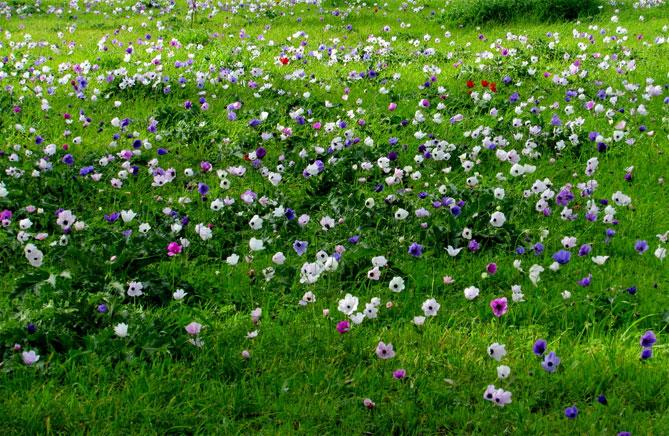 Анемона; посадка и уход в открытом грунте, фото цветов и тонкости выращивания; Хватай Лопату; сад и огород ждут!